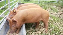 kormlenie-sviney-kombikormom