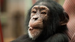 ps_juv_chimpanzee_1375102147