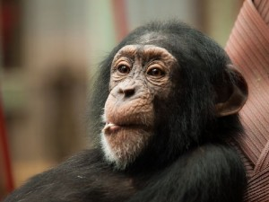 ps_juv_chimpanzee_1375102147